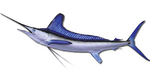 White marlin drawing