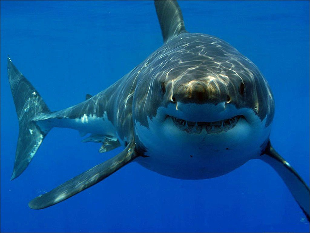 White shark looking at you wallpaper