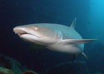Whitetip reef shark in the evening