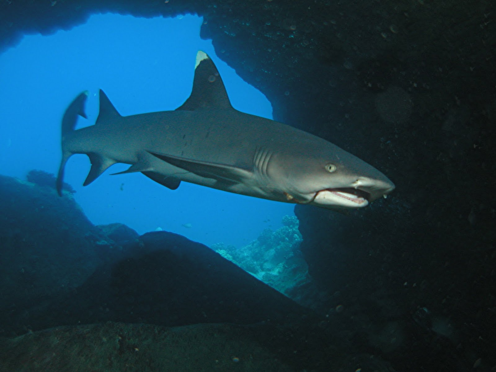Whitetip reef shark in the gorge wallpaper