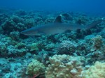 Whitetip reef shark over reefs