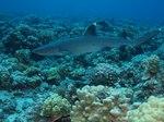 Рифовая акула над рифами
