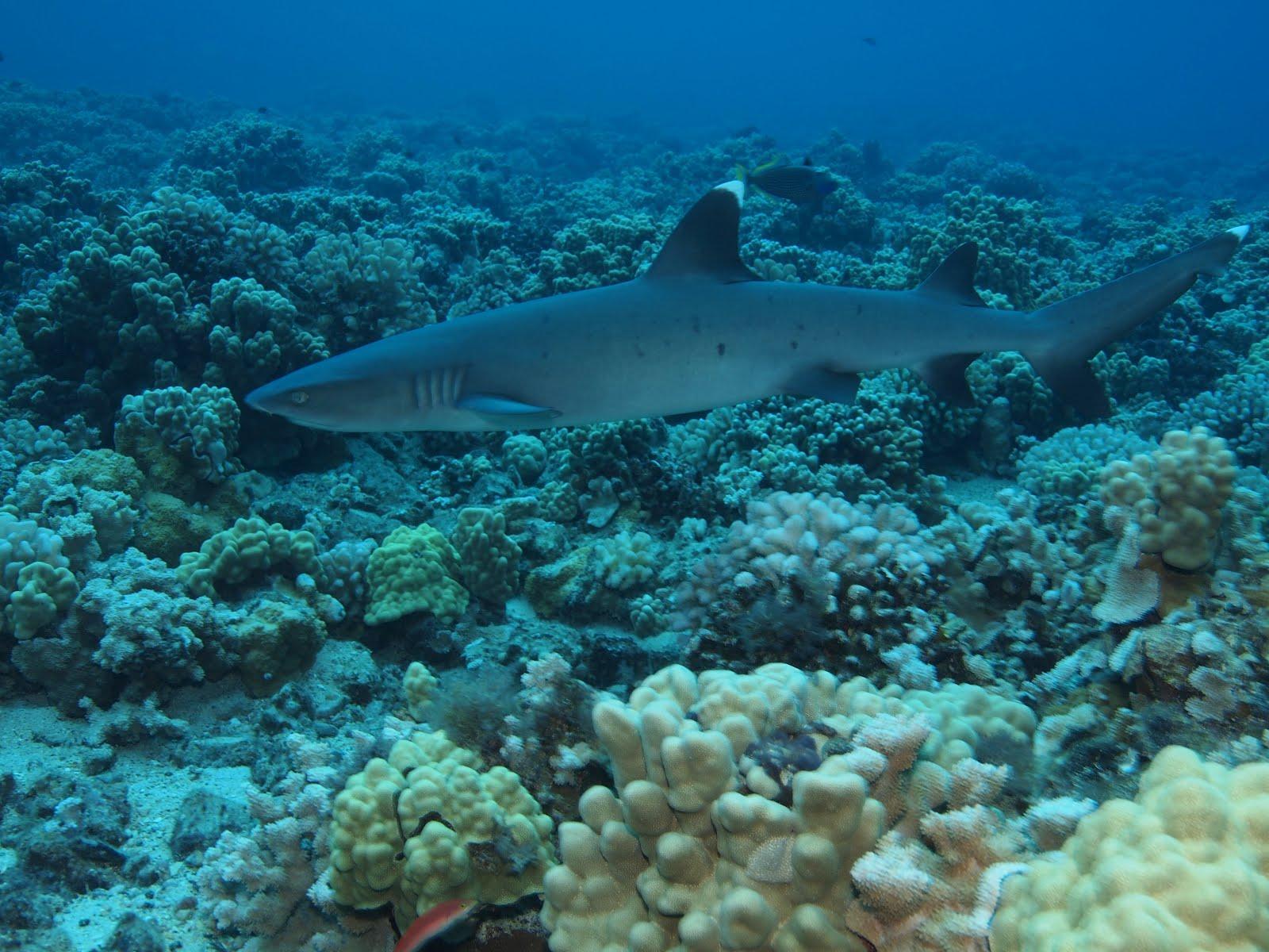 Whitetip reef shark over reefs wallpaper