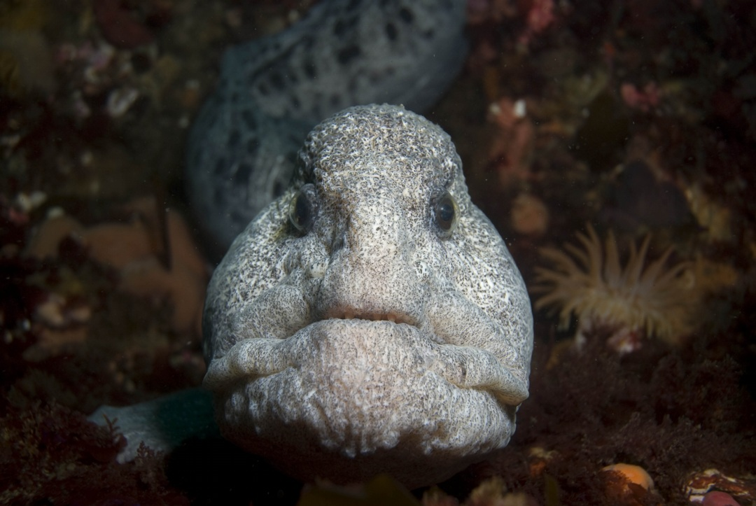 Wolf-eel face wallpaper