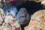 Wolffish between the stones