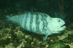 Wolffish side view