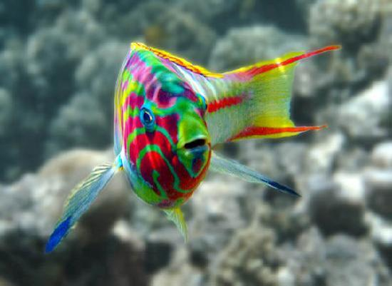 Wrasse looking at you wallpaper