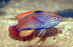 Wrasse side view