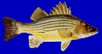 Yellow bass blue background