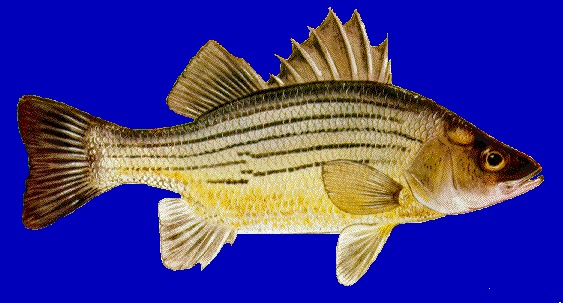 Yellow bass blue background photo and wallpaper cute for Blue bass fish