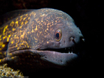 Yellow-edged moray face