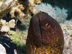 Yellow-edged moray