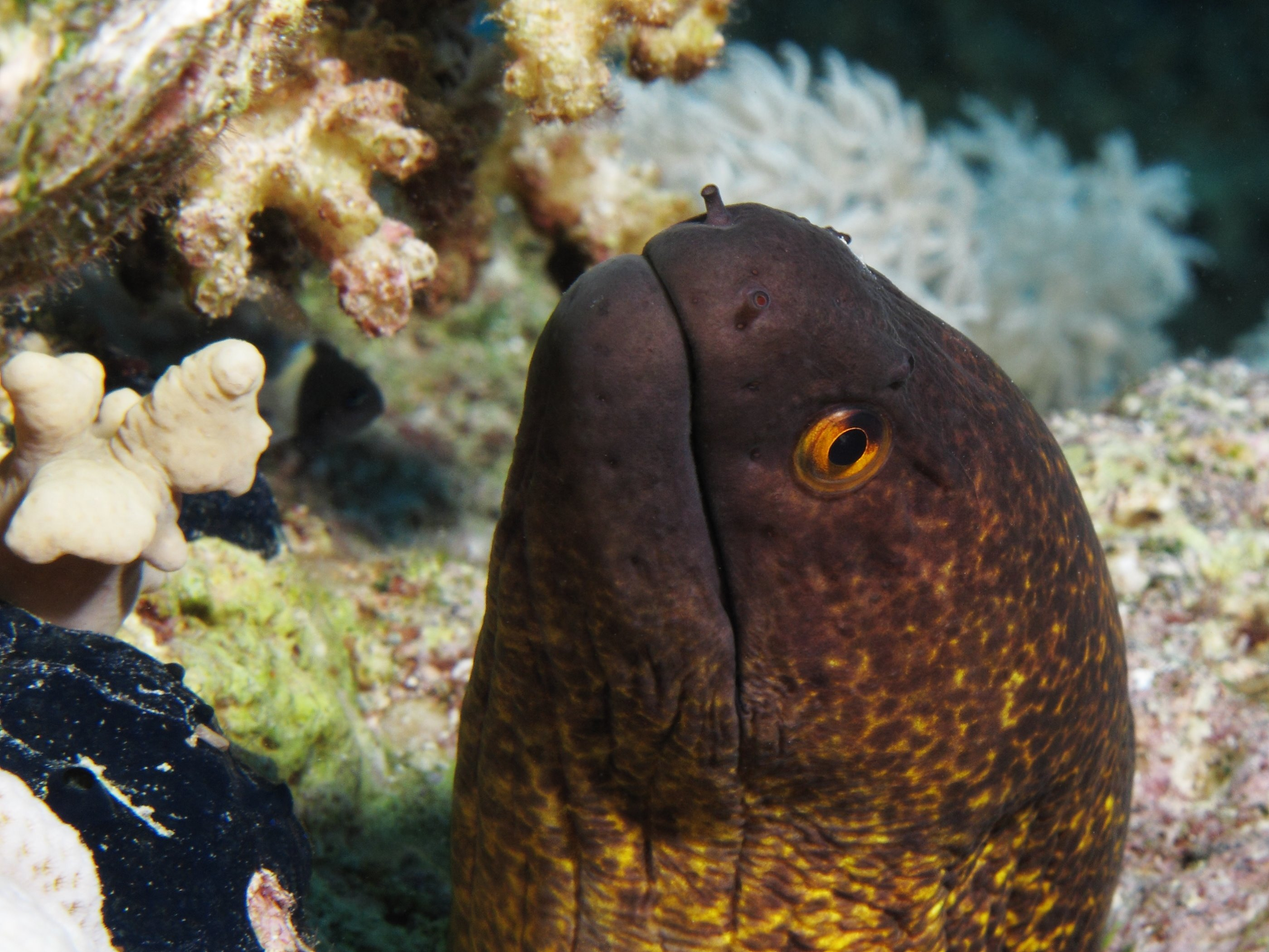 Yellow-edged moray wallpaper
