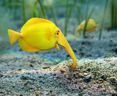 Yellow elephant fish wallpaper