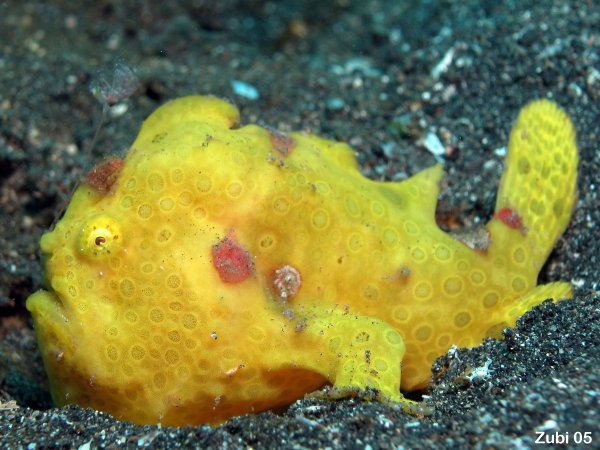 Yellow frogfish wallpaper