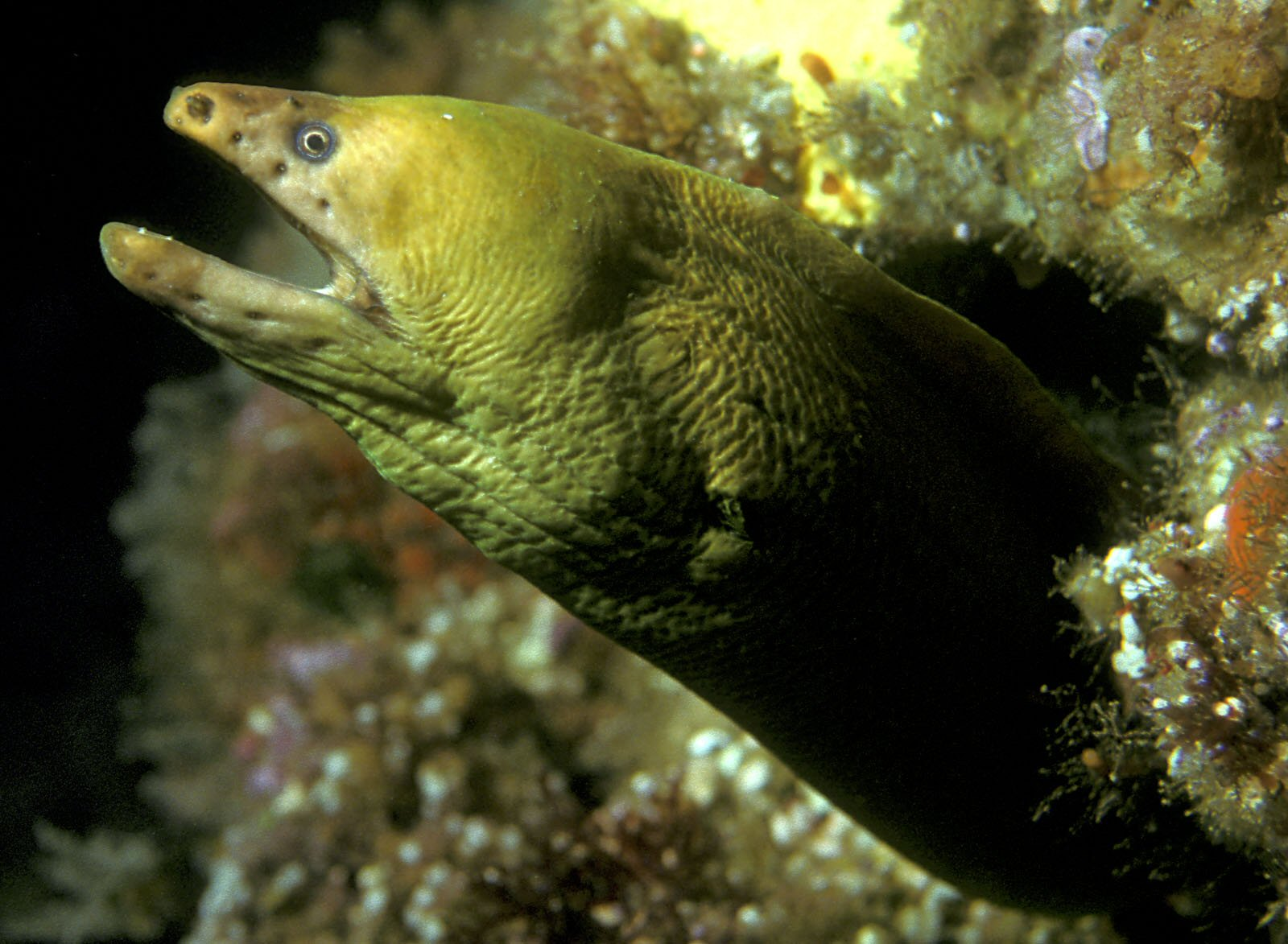Yellow moray wallpaper