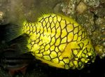 Yellow pineapplefish