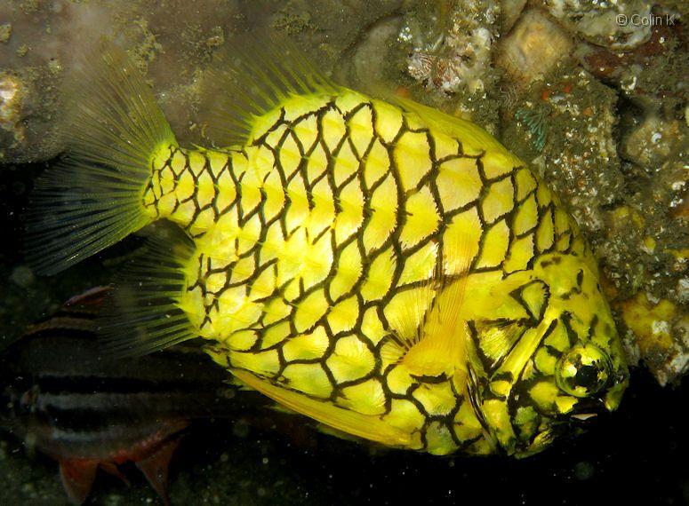 Yellow pineapplefish wallpaper