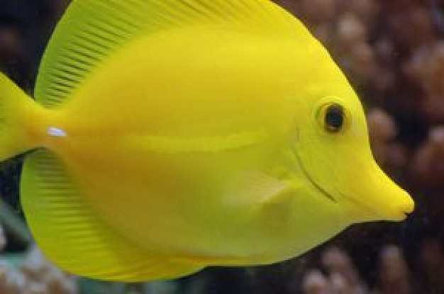 Yellow tang fish wallpaper