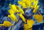 Yellow tang fishes and turtle