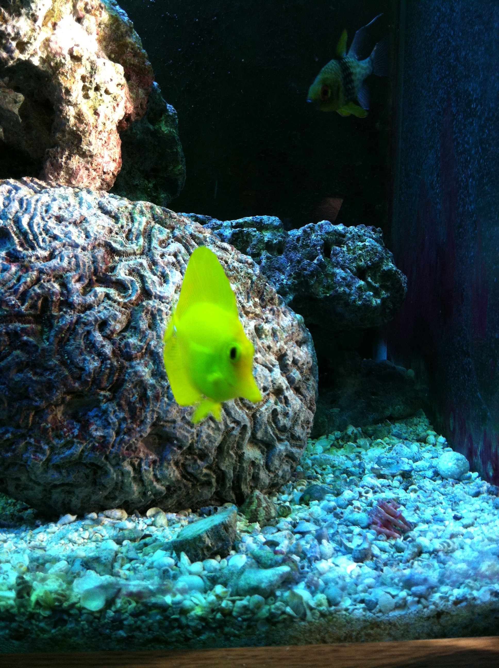 Yellow tang near the bottom wallpaper