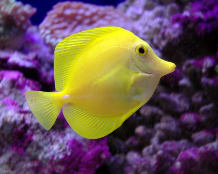 Yellow tang side view wallpaper