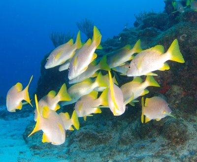Yellowbanded perch fishes wallpaper