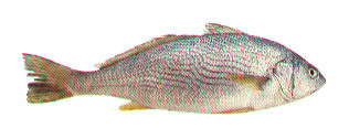 Yellowfin croaker wallpaper
