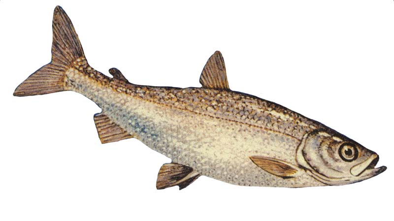 Yellowfin cutthroat trout wallpaper