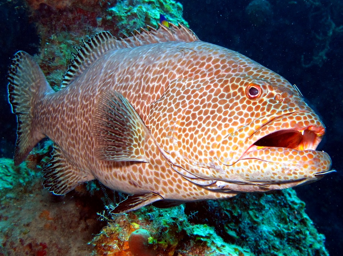 Yellowfin grouper face wallpaper