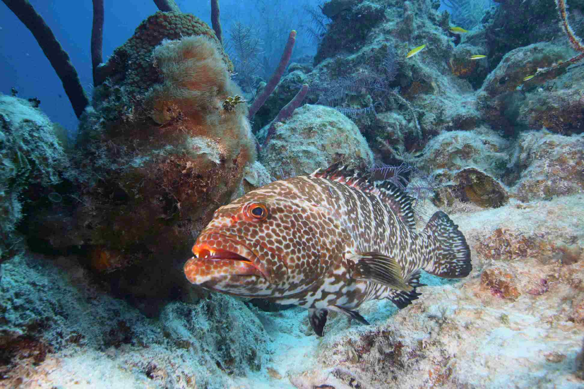 Yellowfin grouper fish wallpaper