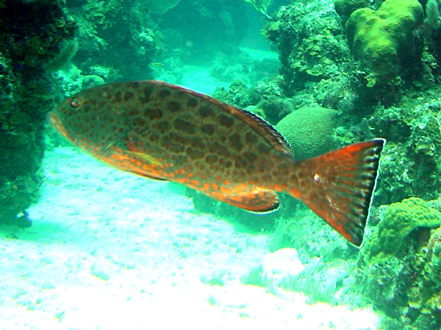 Yellowfin grouper wallpaper