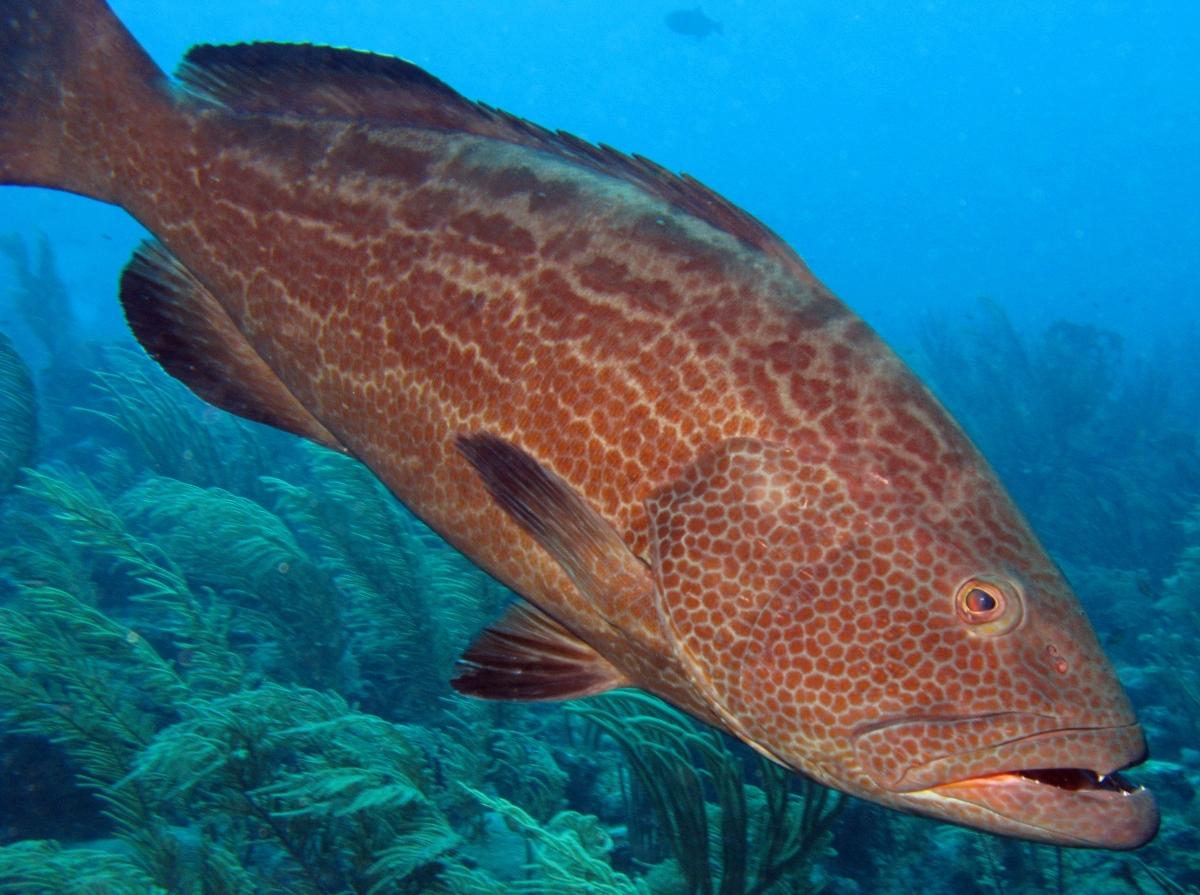 Yellowfin grouper side view wallpaper