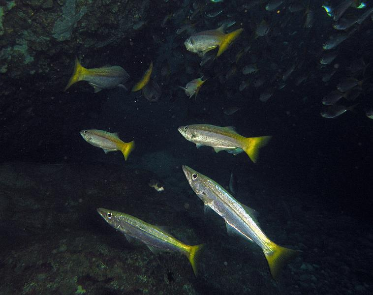 Yellowfin pike fishes wallpaper