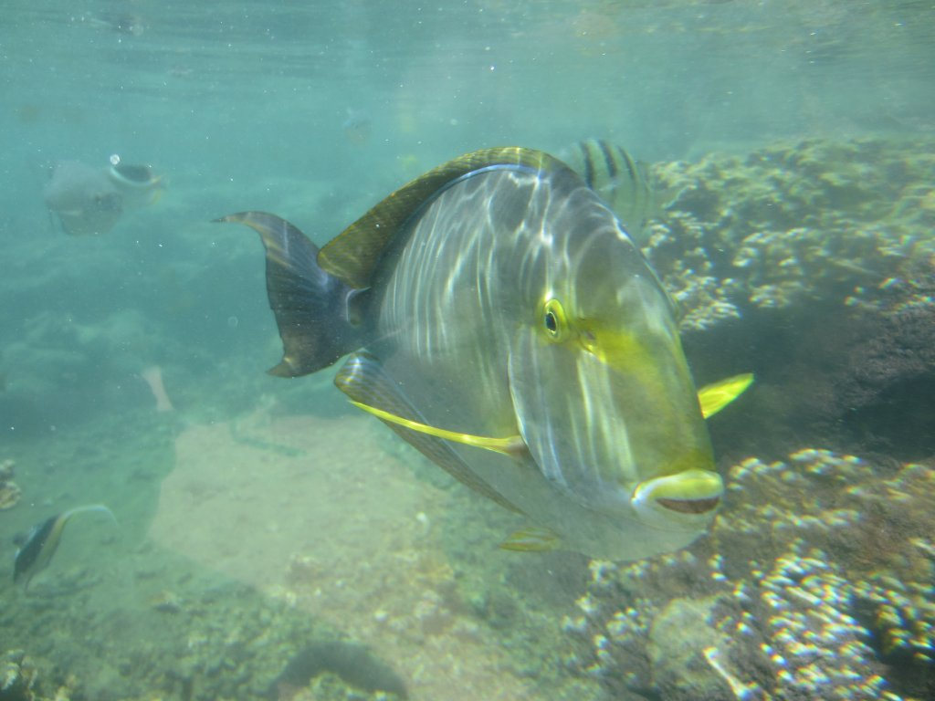 Yellowfin surgeonfish watching at you wallpaper