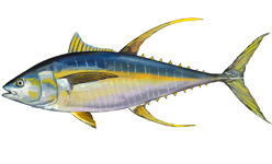 Yellowfin tuna wallpaper