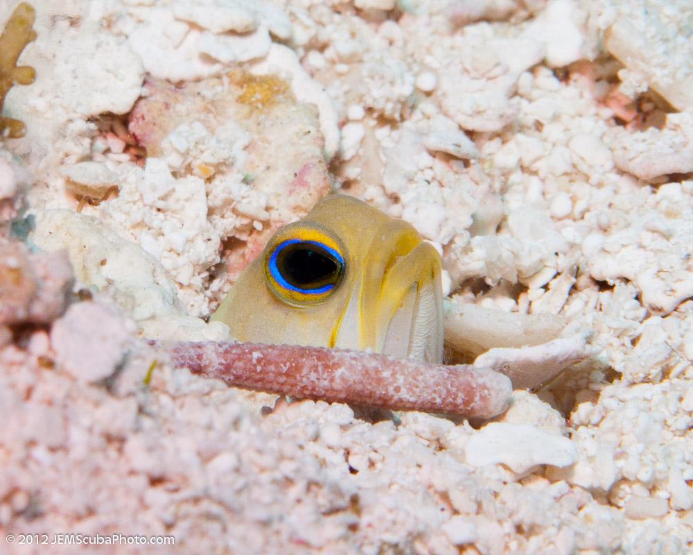 Yellowhead jawfish eye wallpaper