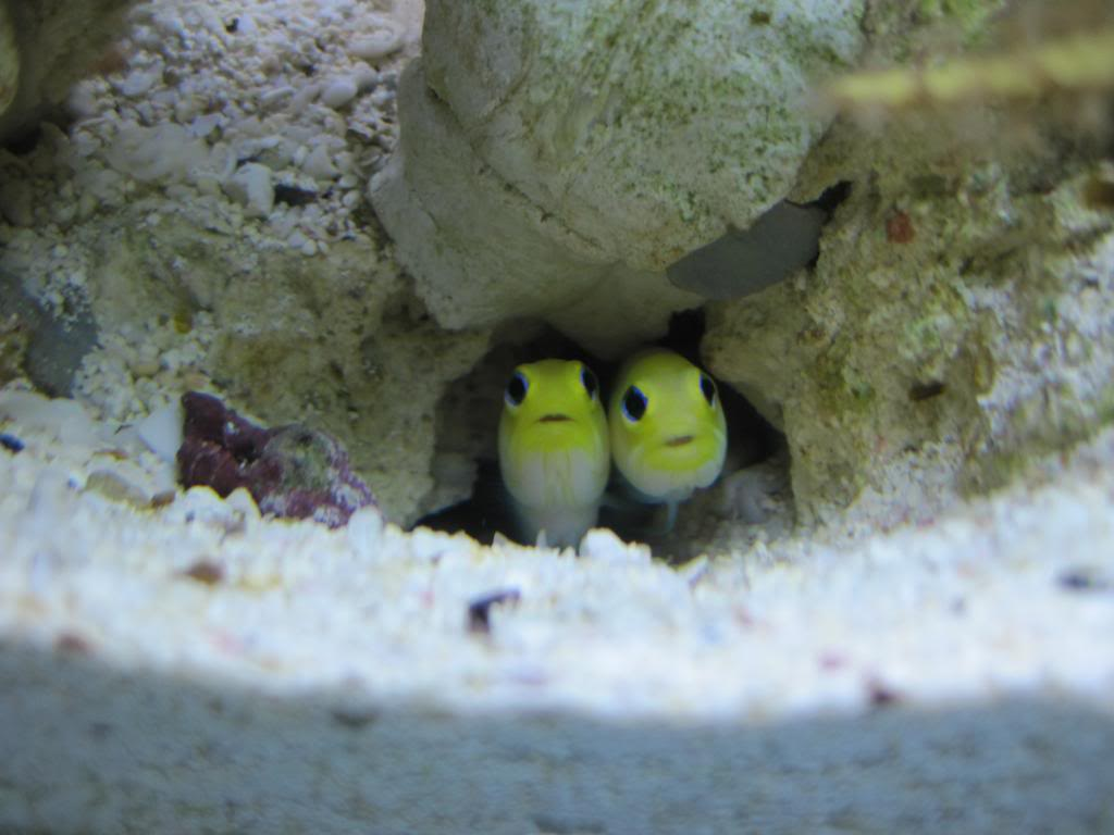 Yellowhead jawfish fishes in a hole wallpaper