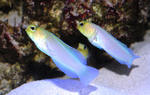 Yellowhead jawfish fishes