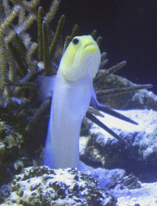 Yellowhead jawfish wallpaper