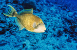 Yellowmargin triggerfish in blue sea