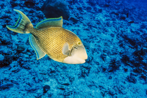 Yellowmargin triggerfish in blue sea wallpaper