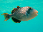 Yellowmargin triggerfish side view