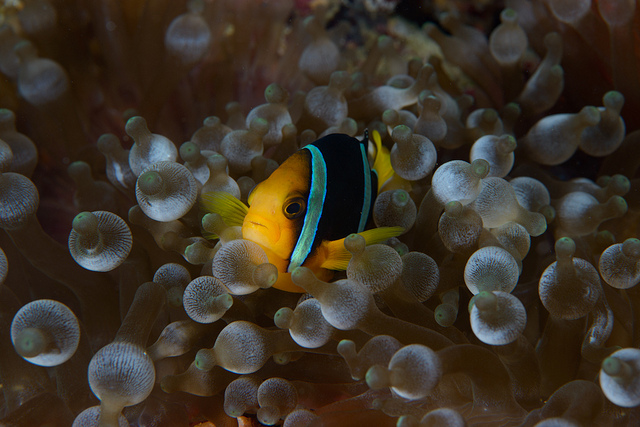 Yellowtail clownfish among bubbles wallpaper