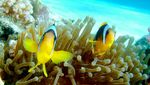 Yellowtail clownfish fishes