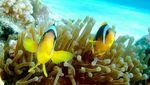 Рыбы-клоун