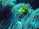 Yellowtail clownfish in the algae