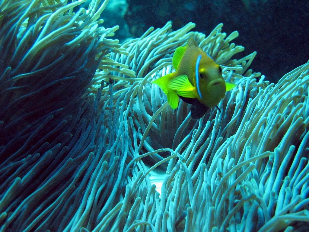 Yellowtail clownfish in the algae wallpaper