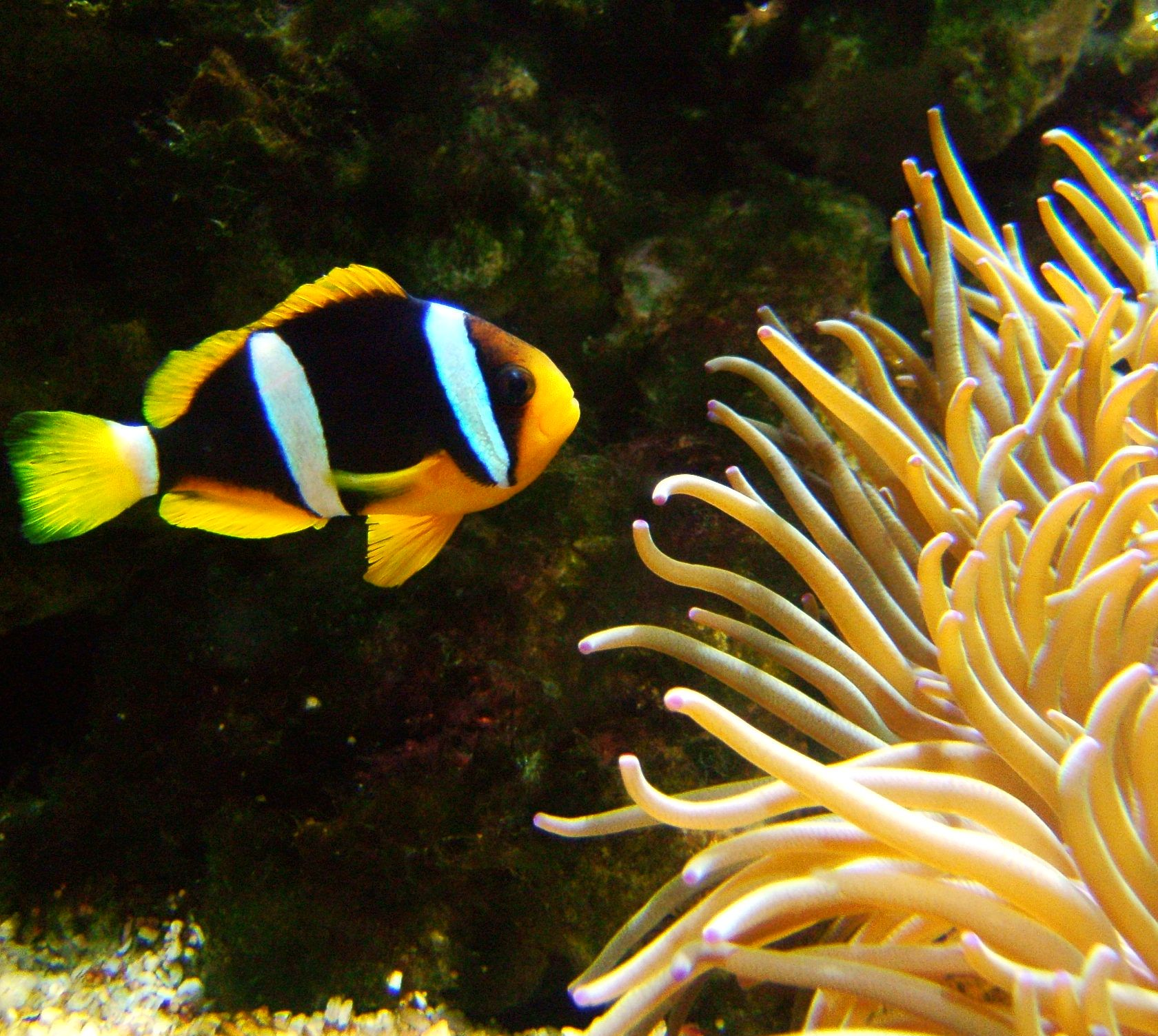 Yellowtail clownfish wallpaper