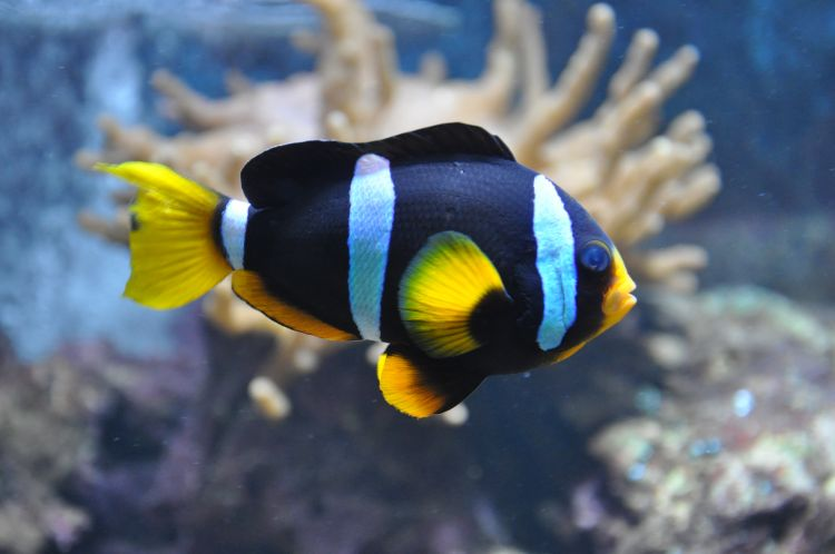 Yellowtail clownfish side view wallpaper